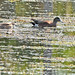 Flickr photo 'American Wigeon (Anas americana)' by: Mary Keim.