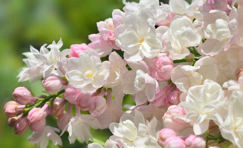 Обои макро, цветы, ветка, белая, Сирень картинки на рабочий стол, раздел цветы - скачать
