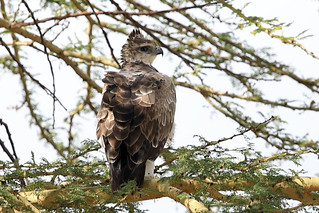 Martial eagle | by dmmaus