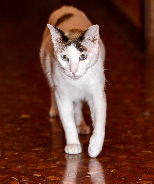 Blau, gato cruce Snowshoe nacido en enero´17 esterilizado, apto para gatos machos, en adopción. Valencia. 46157688792_e644698234_z