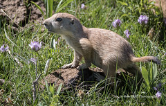 Young Blacktailed Prairie Dog - - Wind Cave N.P,, SD/06