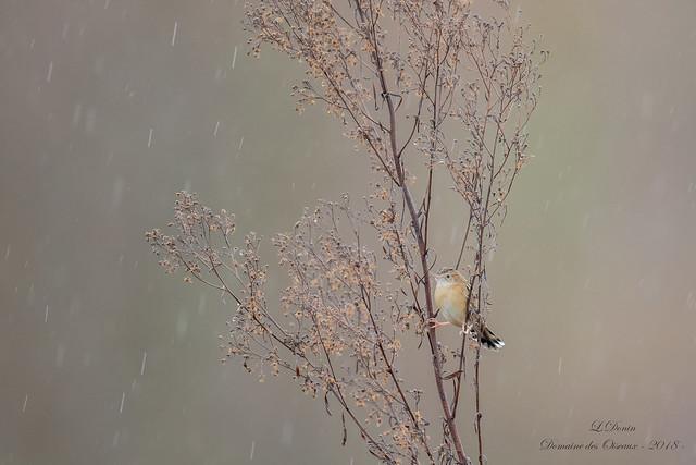 Cisticole des joncs (Cisticola juncidis)-7