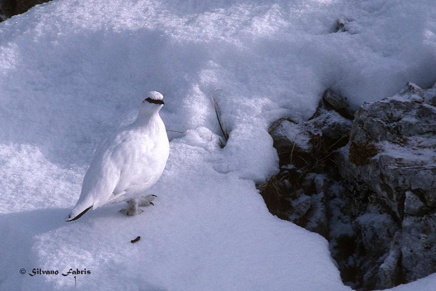 Ptarmigan - Pernice bianca, un maschietto