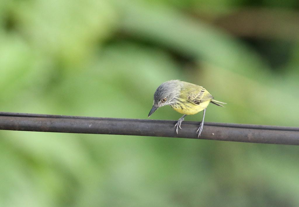 Spotted Tody-Flycatcher, Yurimaguas, Peru October 2018