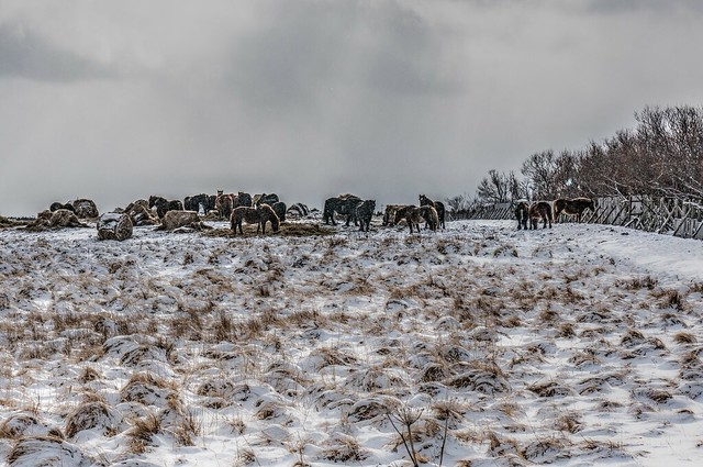 Group of winter horses