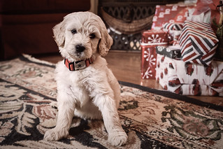 Christmas Puppy.jpg | by Chatterstone Photography