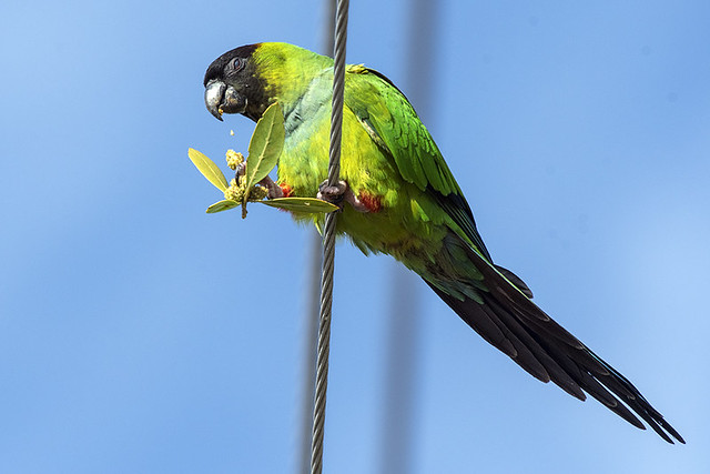 FL: Nanday Parakeet Contemplating Breakfast
