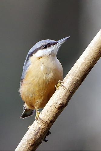 rspb sandy thelodge nature wild wildlife bird nuthatch sittaeuropaea