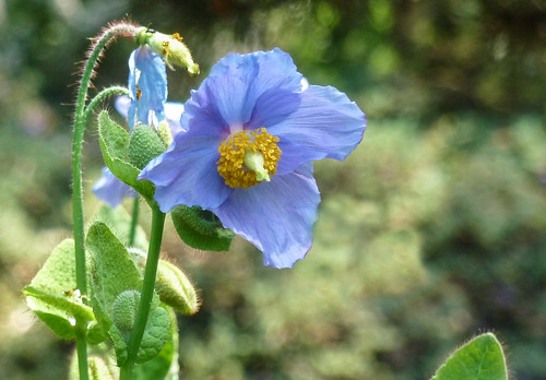 Meconopsis betonicifolia, the blue poppy | by Frans.Sellies