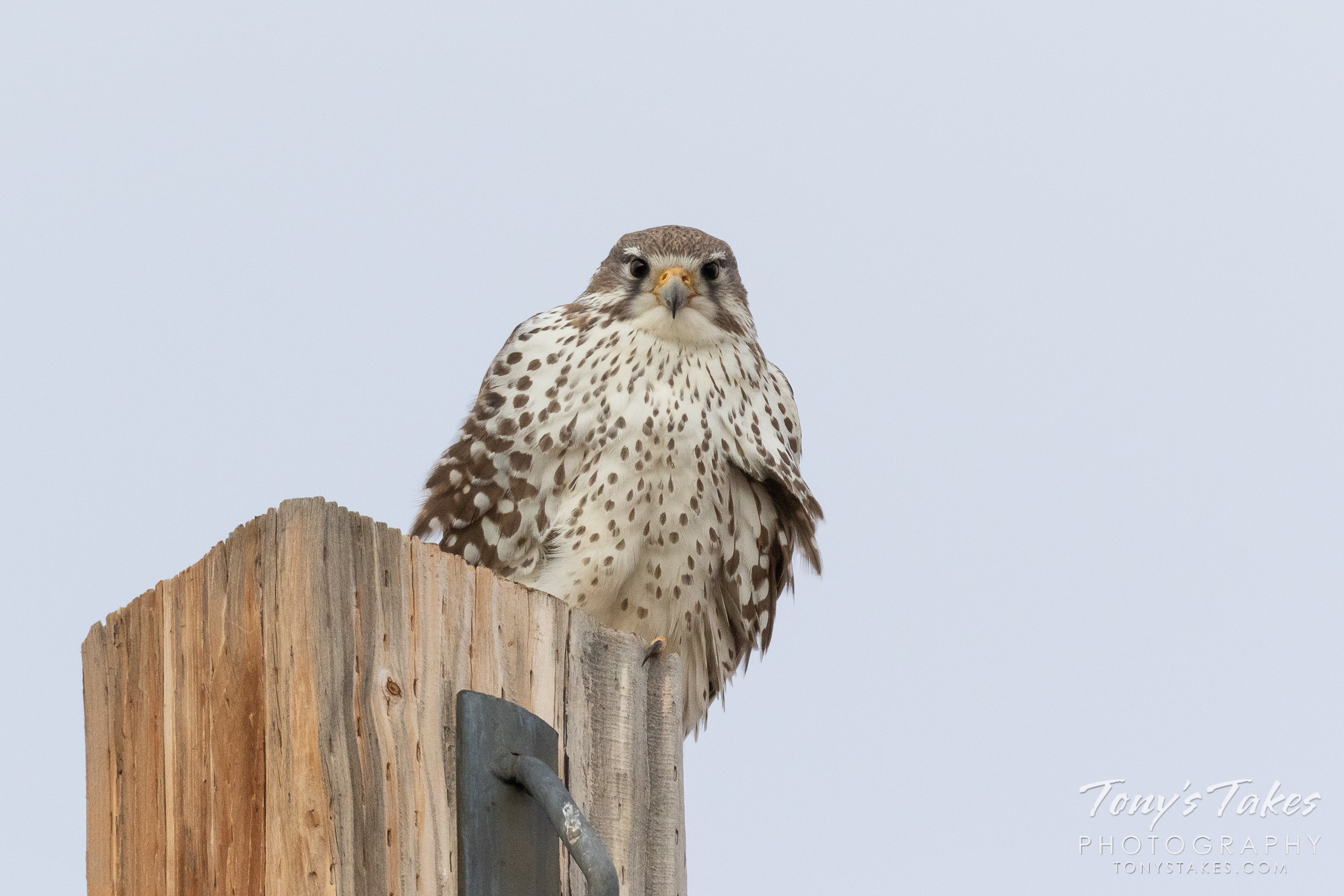 A Prairie Falcon keeps close watch. (© Tony's Takes)