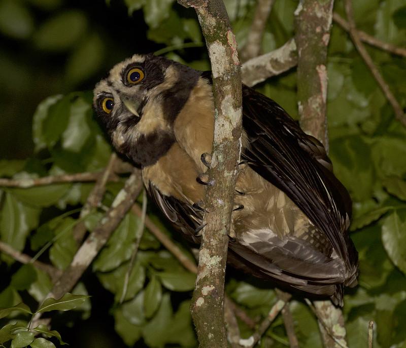 Spectacled Owl, Pulsatrix perspicillata Ascanio_Panama 199A9065