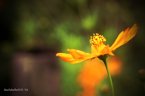 Yellow Flower | by ibarra_svd