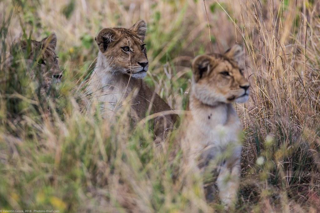 Leoaica cu pui_septembrie18_Serengeti_12