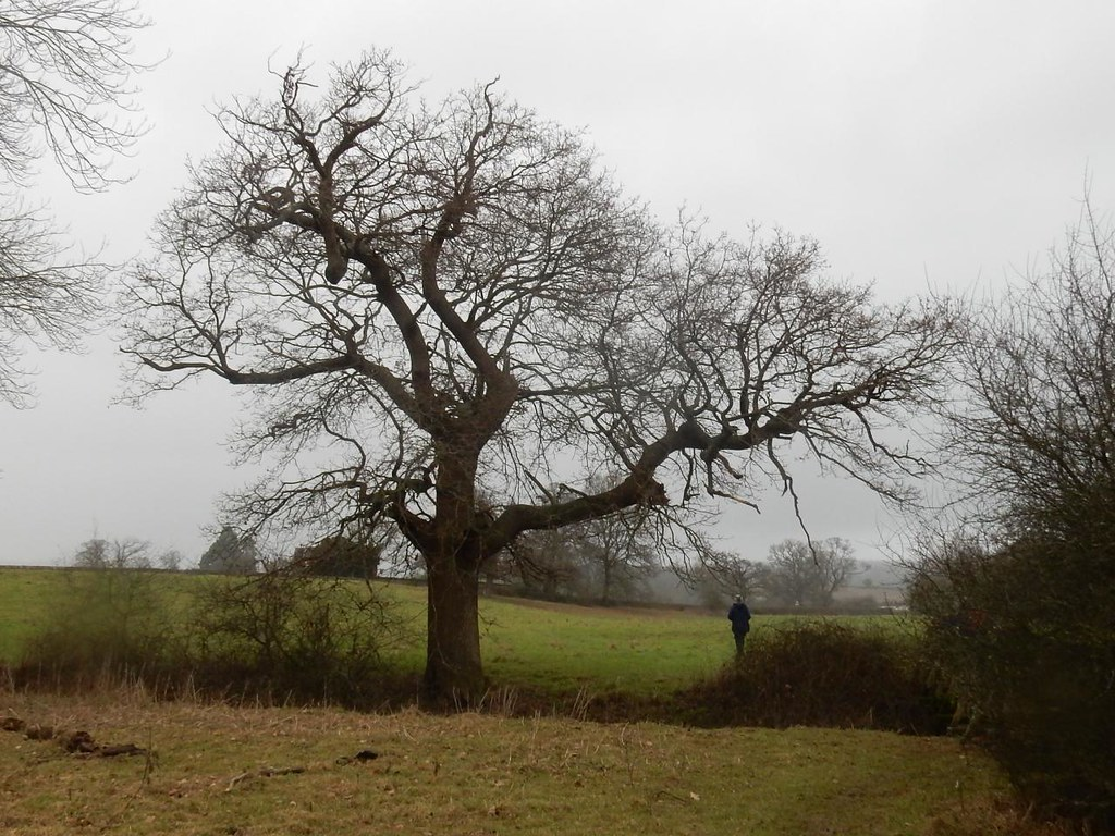 Big tree with walker Holmwood to Reigate