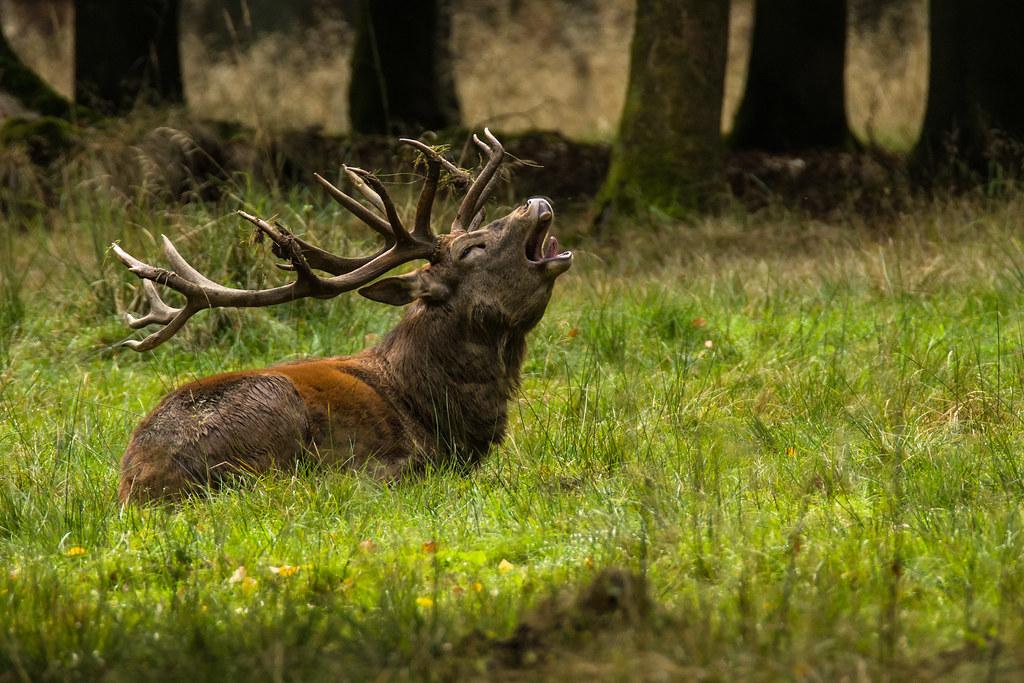 Rothirsch red deer Cervus elaphus