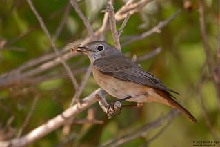 Redstart, Phoenicurus phoenicurus