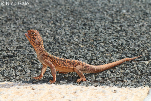 Central Netted Dragon (Ctenophorus nuchalis) | by Nick Gale