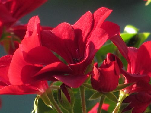 Geranium Rose | by HomeGrownPhotos