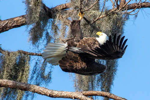 outdoor shore sky nature wildlife 7dm2 canon florida bird pine tree prey raptors carnivore