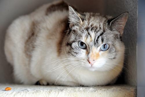 Aruba, gata cruce siamesa dulzona y muy guapa esterilizada, nacida en Agosto´17, en adopción. Valencia.  46423464602_e79355a2c7