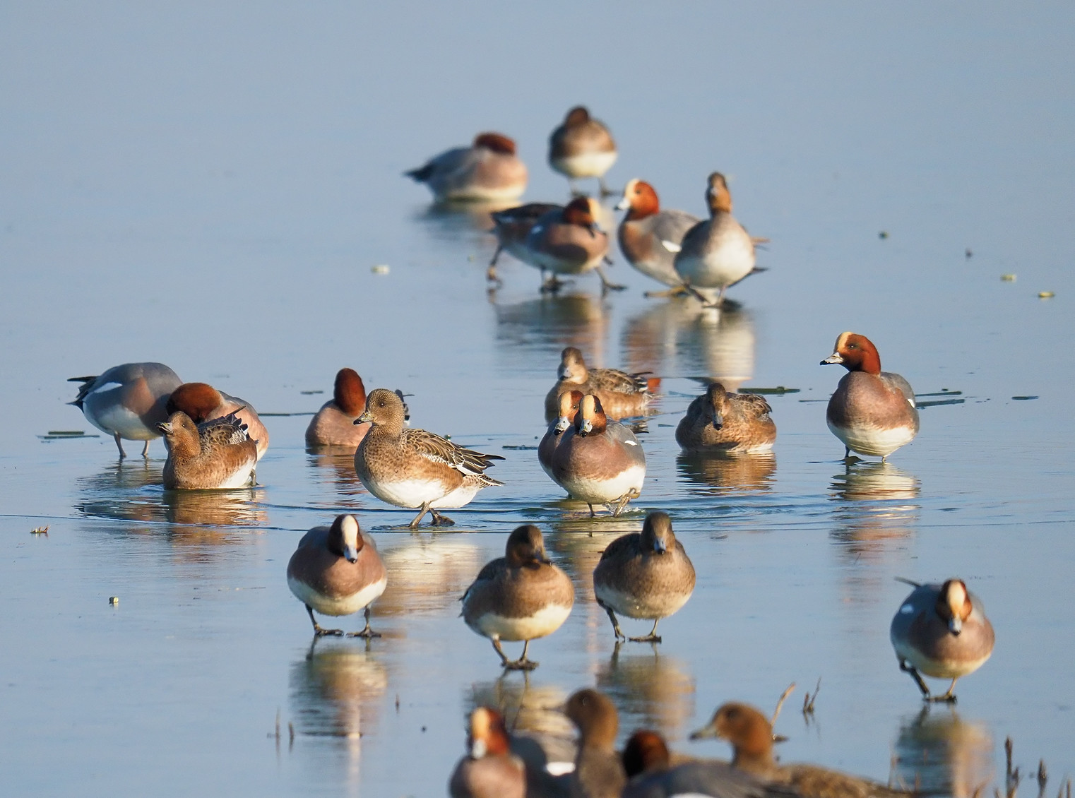 Wigeon collective