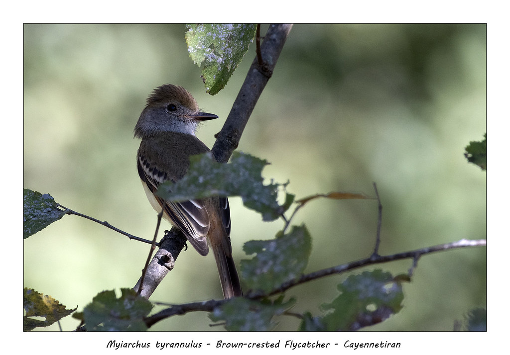 Brown-crested flycatcer