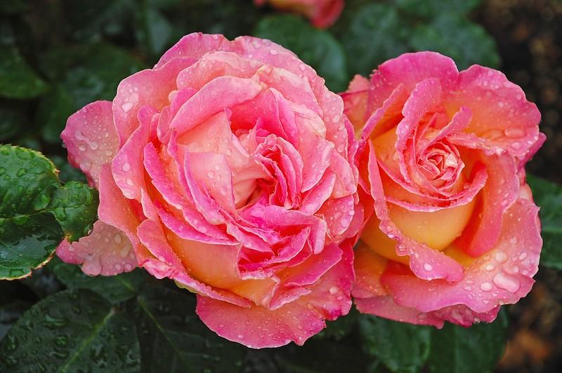 Обои вода, капли, макро, розы, Pink, Roses, color картинки на рабочий стол, раздел цветы - скачать