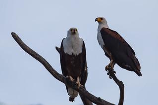 Lake_Naivasha_Kenya_sep18_07_vultur pescar | by Valentin Groza