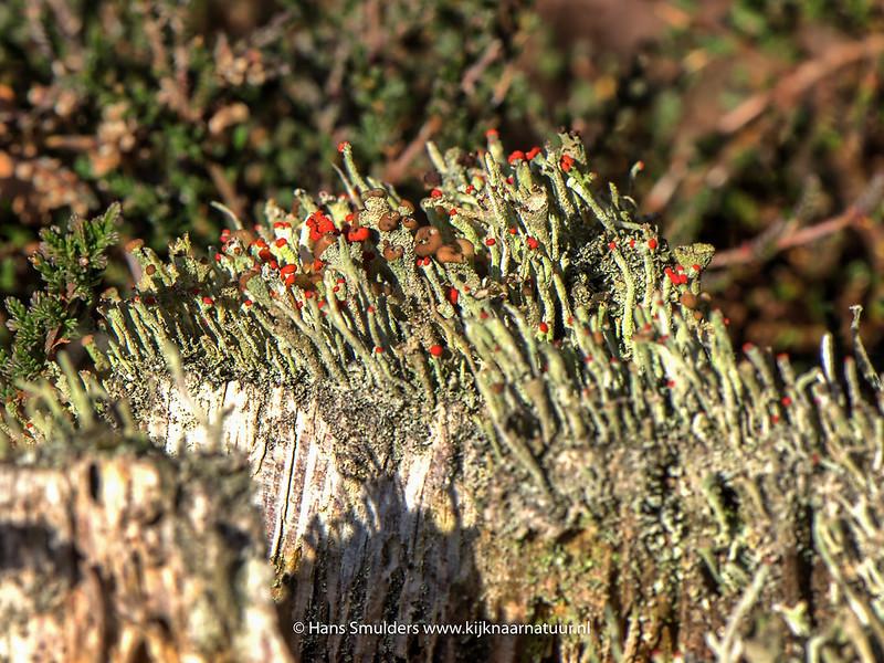 Lucifermos (Cladonia floerkeana)-818_6744.JPG