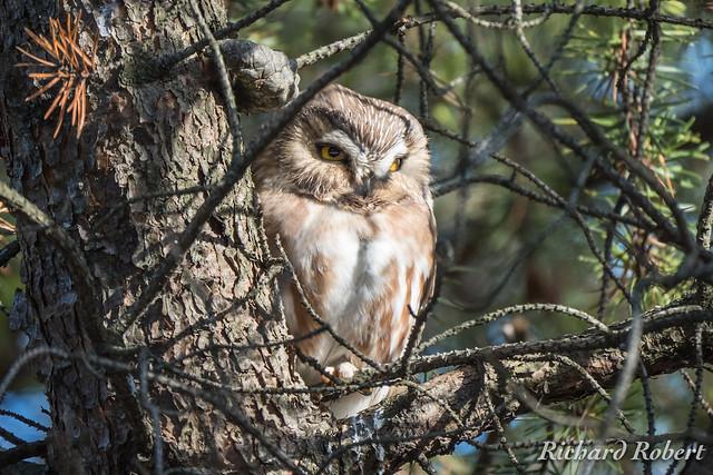 Petite Nyctale / Northern Saw-whet Owl / 11 novembre 2018 PB114302.jpg
