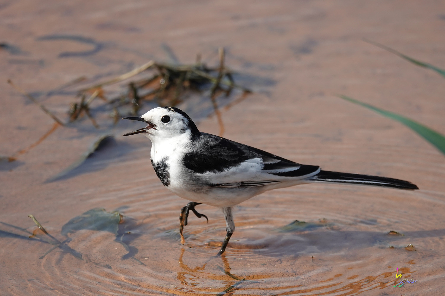 White_Wagtail_SONY_00228
