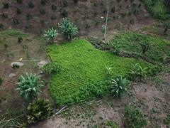 Arroz, Valle de las Luciernagas, PermaTree, Oriente Ecuatoriano