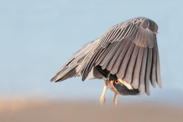 Bihoreau violacé / yellow-crowned night-heron