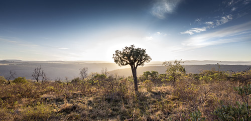 cussoniaspicata cabbagetree sunrise highveld kuduprivatenaturereserve kuduranch kudugameranch lydenburg southafrica mpumalanga