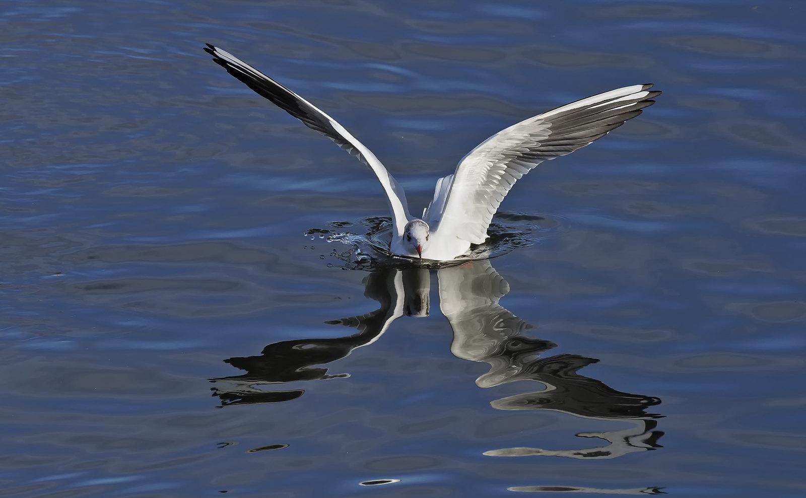 Black-headed Gull fun...
