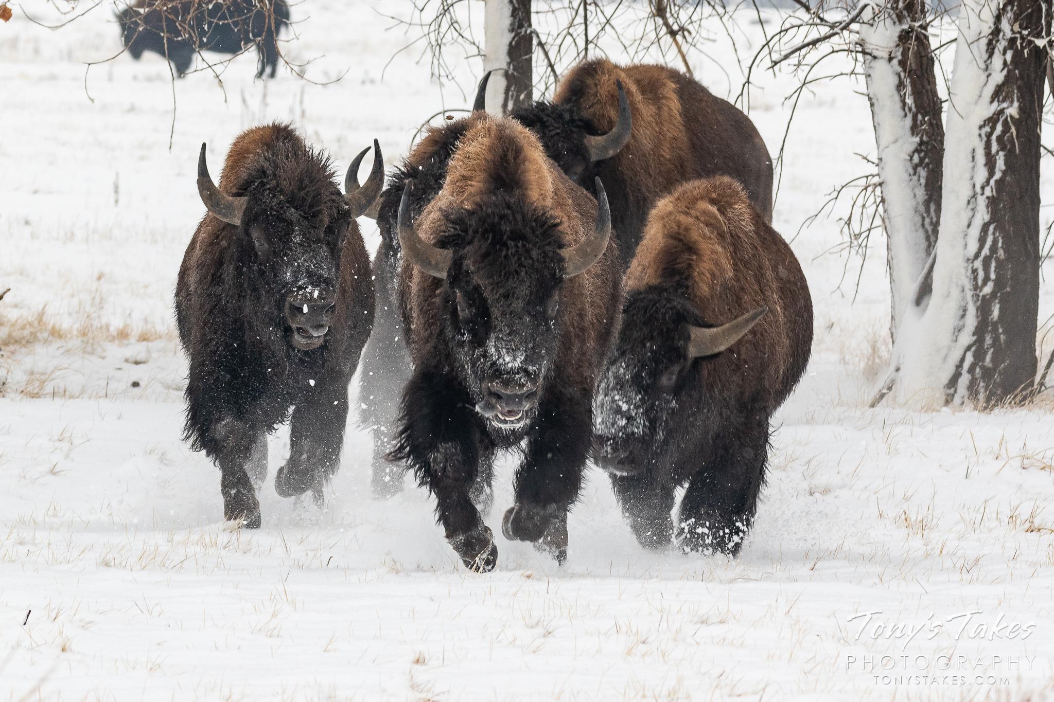 American bison bulls run full speed through the snow in Colorado. (© Tony's Takes)