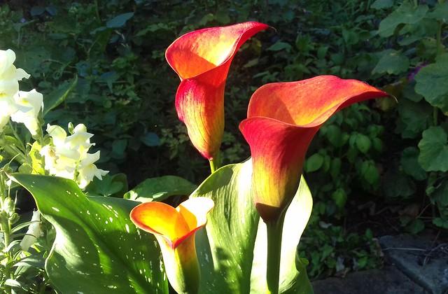 eindrucksvoll schöne Blumen im Garten