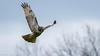 Red-tailed Hawk by mathurinmalby