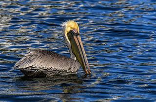 Brown pelican | by Mike_FL