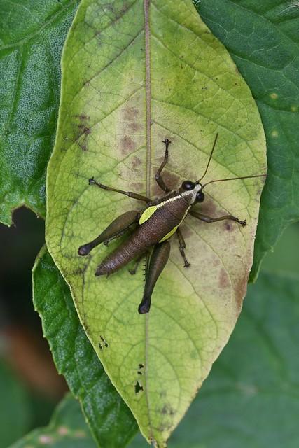 Eulampiacris leucoptera = Ommatolampis leucoptera (Acrididae: Ommatolampidinae: Ommatolampidini) — female
