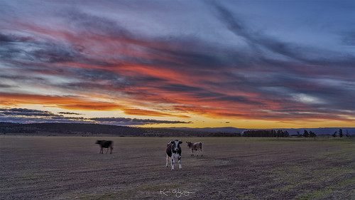 swansea tasmania sunset colourburst cattle bull sony a7r3 sonyfe24105mmf4g