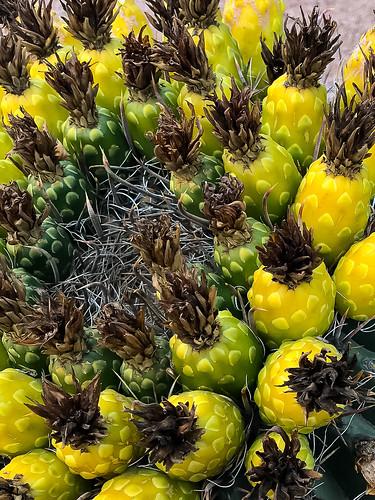 cactus desert fruit tucson arizona