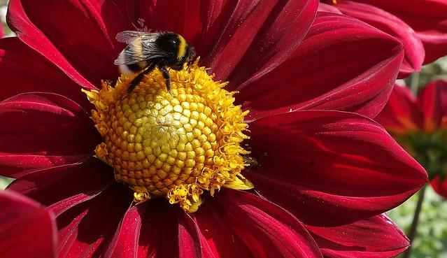Blumen und Blüten,  -  Flowers and blossoms Macro with bee,  76563/10919