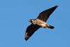 Peregrine Falcon by Shore Birder