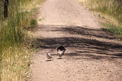 Australian crested pigeons