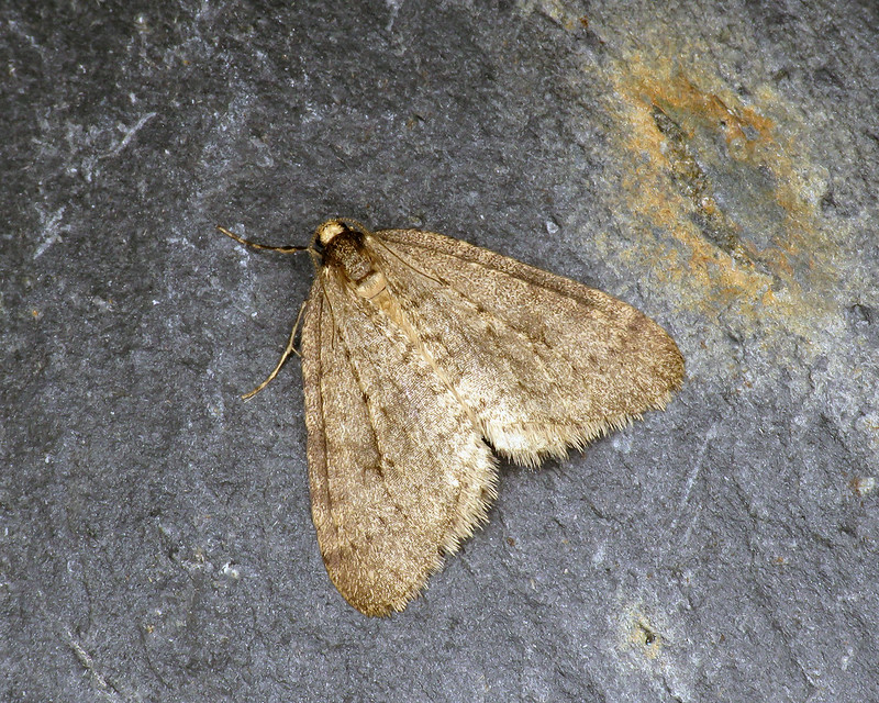 70.106 Winter Moth - Operophtera brumata