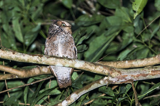 Mountain Scops-Owl | by nickathanas