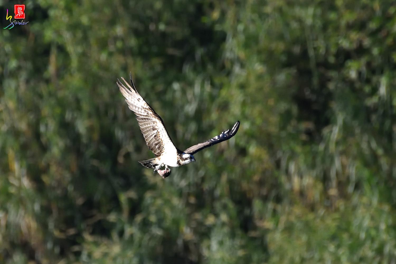 Osprey_8954