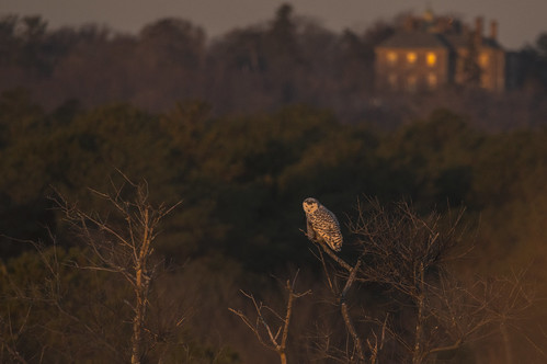 Snowy Owl and Castle Hill