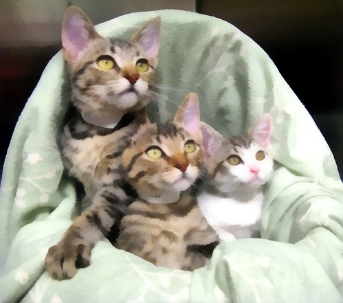 Crimson, Clover & Millie ~ Sister Cats Made Painterly